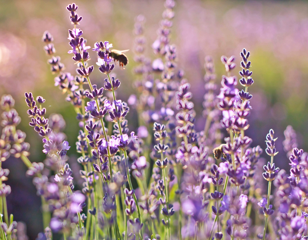 lavandula-interesting-facts